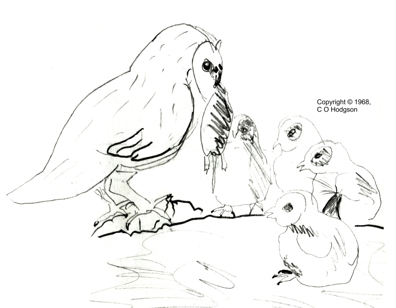 Barn Owl and chicks. Pencil sketch by my father