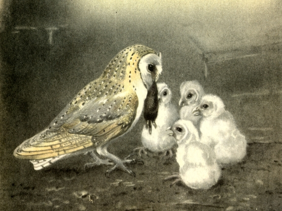 collinsmorebirds_barnowldetail