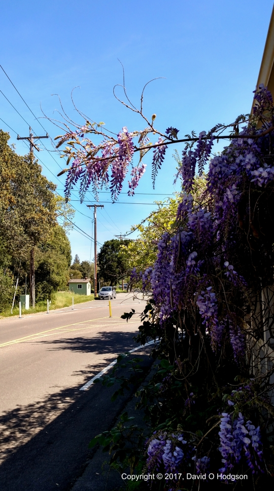 Wisterias blooming at Melitta Station
