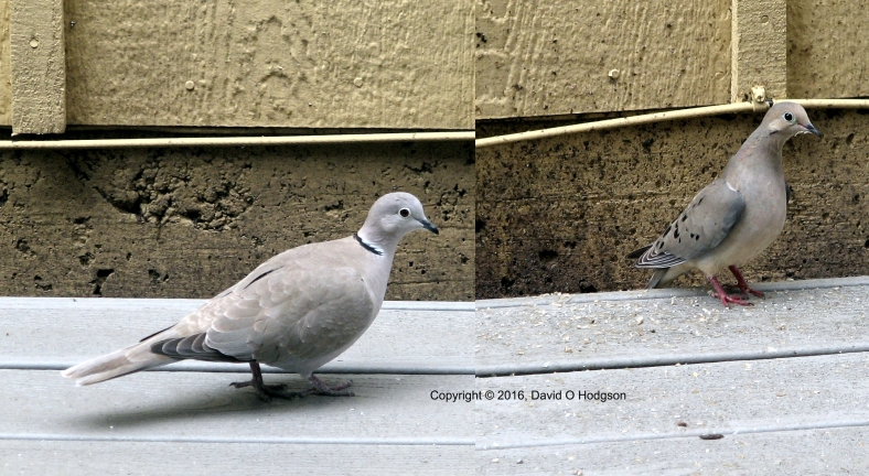Old World Dove Meets New World Dove