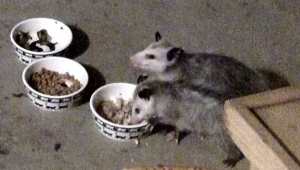 Our Opossums having Dinner