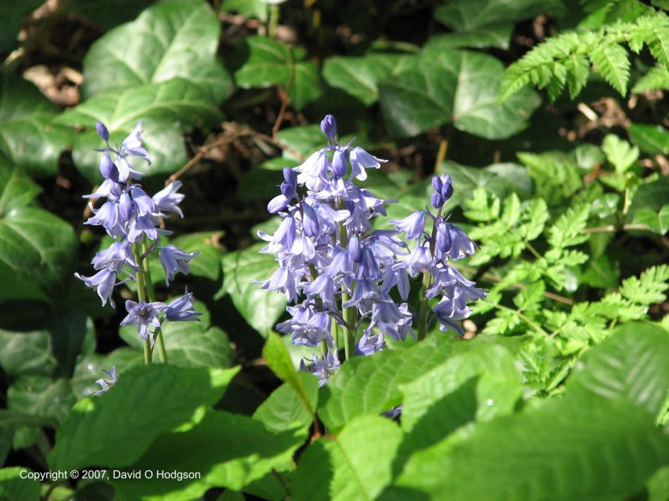 Bluebells as captured by a Digital Camera