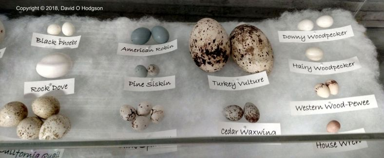 The Eggs of some Local Wild Birds