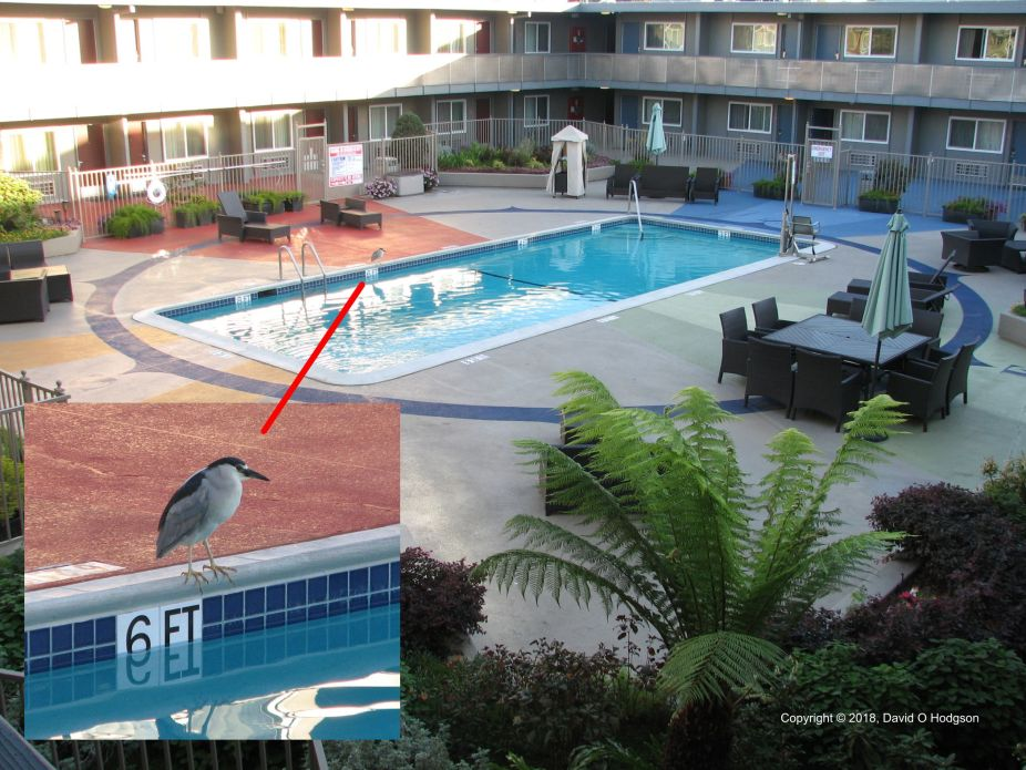 Black-crowned Night Heron enjoying the Pool