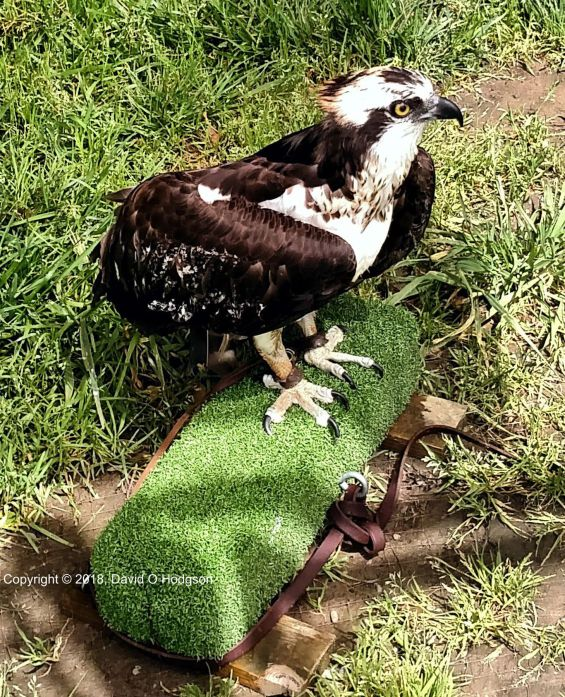 A Flightless Osprey at the Bird Rescue Center