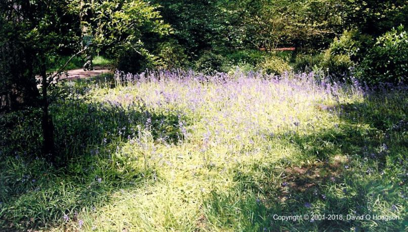 Bluebells, as captured on Film