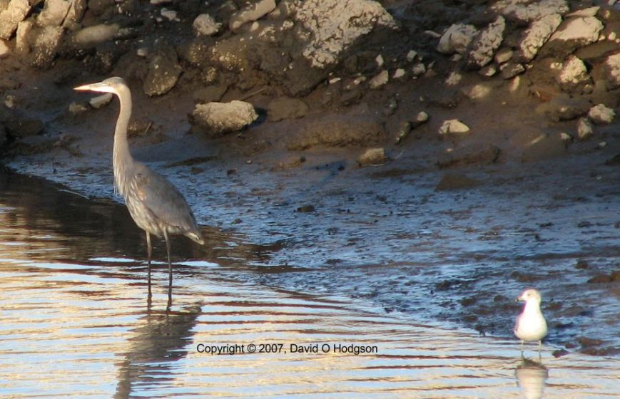 Great Blue Heron, Napa River