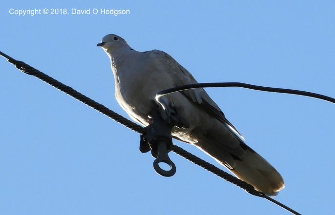 Mourning Dove, observing the Action