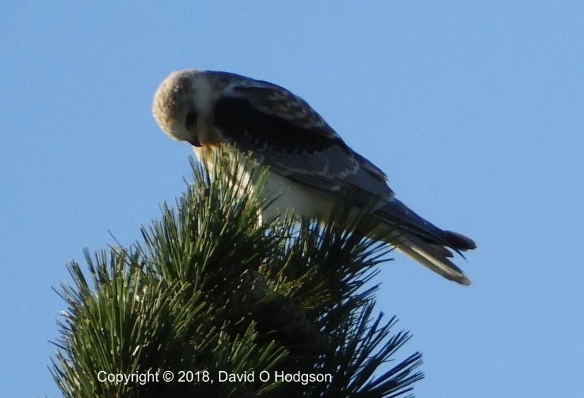 The same Juvenile White-Tailed Kite, showing its Black Shoulders