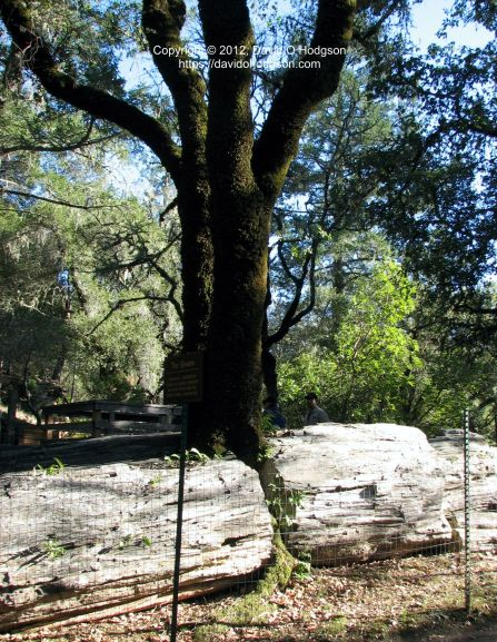 """The Queen"": a Live Oak growing through Fossilized Redwood at the Petrified Forest"