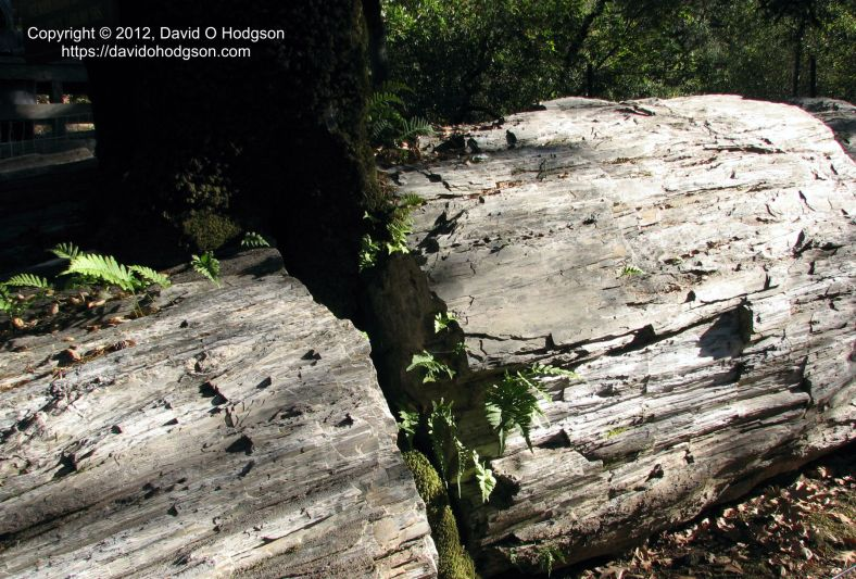 """""""The Queen"""": trunk of Fossilized Redwood"""