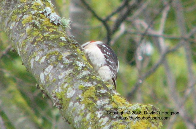 A Shy Downy Woodpecker